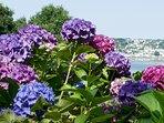 L'hortensia, fleur emblématique du littoral breton, s'épanouit dès juin